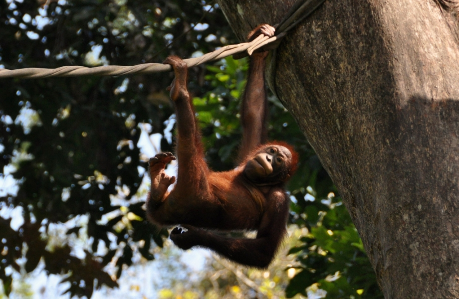 An orangutan at the rehabilation centre