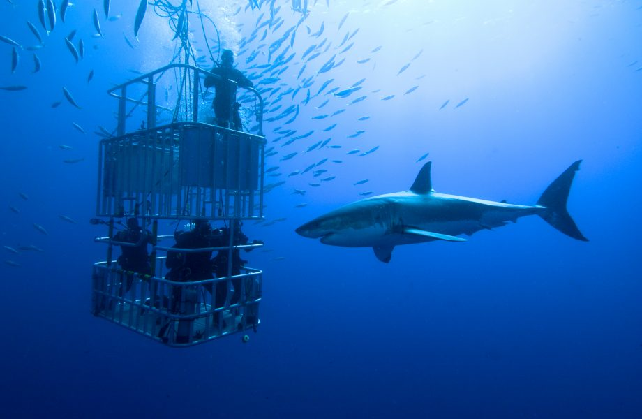 great-white-shark-cage-diving-south-africa