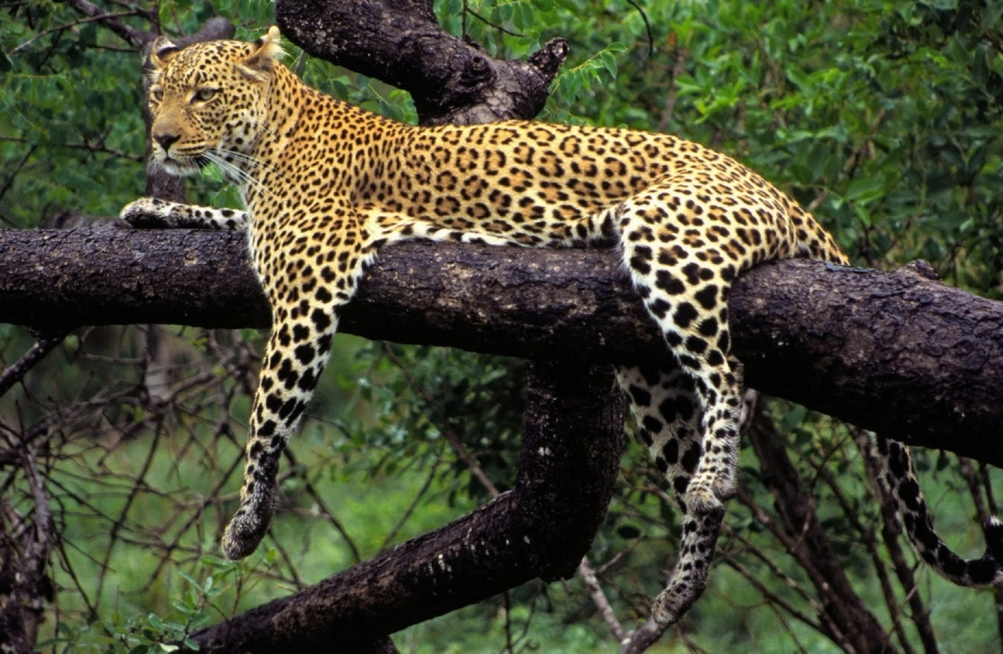 Wild_Animal_Leopard_on_Tree