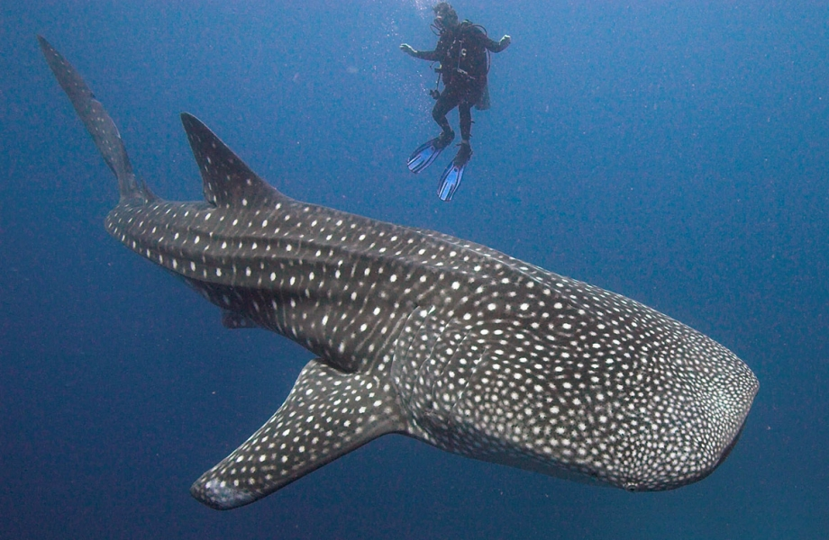 11-whale-shark-maldives