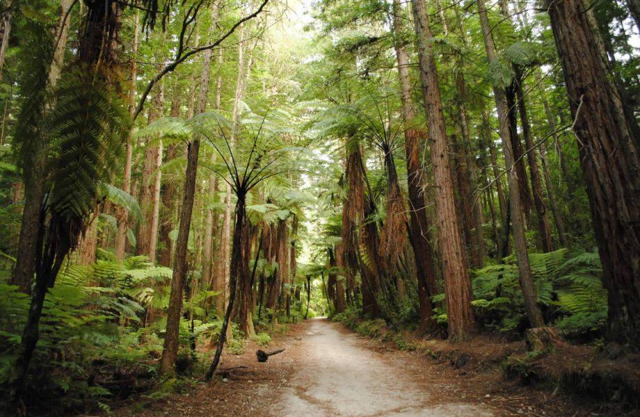 Redwoods Forest at Rotorua