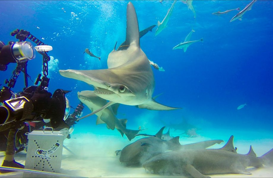 Diving with Hammerhead sharks