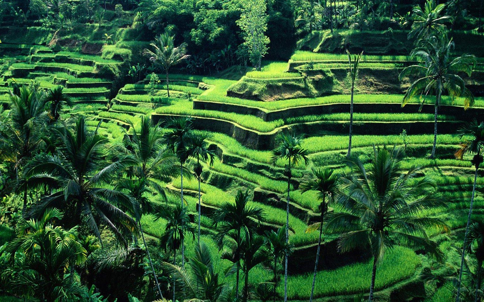 Ubud-rice-terraces-bali