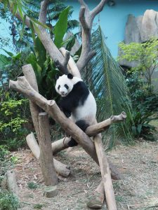 The Viewing of Panda from the River Safari