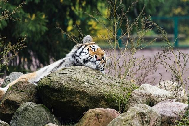 Tiger at Bali Safari and Marine Park
