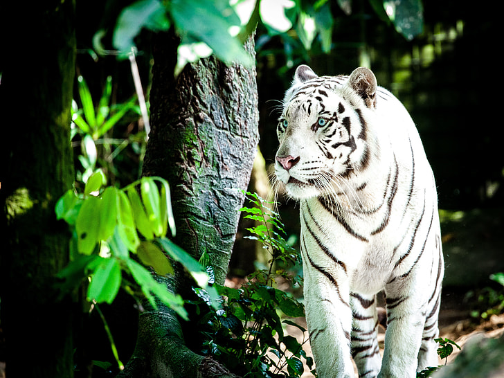 White Tiger from the Singapore Zoo