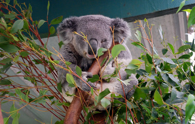Koalas Featherdale Wildlife Park