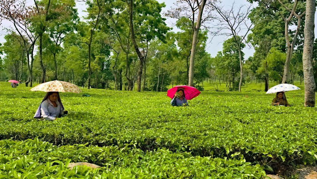 tea estate in assam