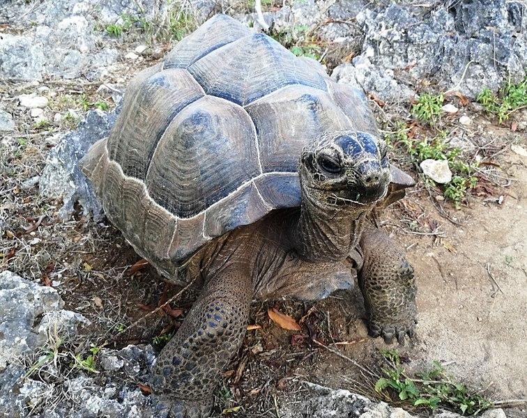 A giant tortoise in Francois Leguat museum in Mauritius