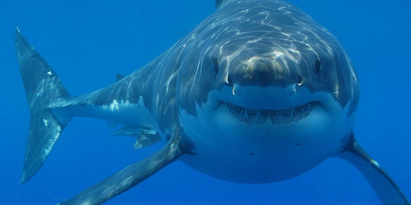white shark you can witness in shark cage diving