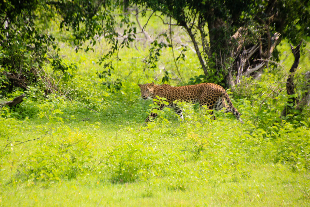A leopard captured in the Yala National Park in Sri Lanka