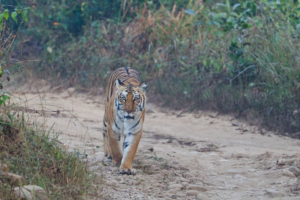 Bengal tiger spotting in Jim Corbett