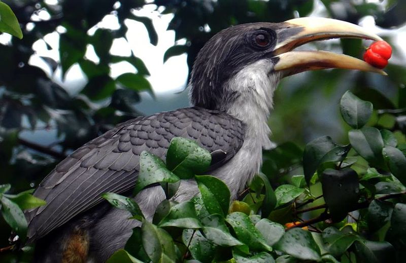 Close up view of Hornbill