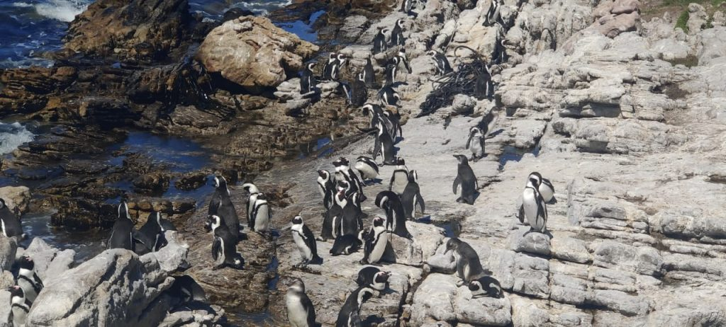 A group of penguins at the Betty's Bay
