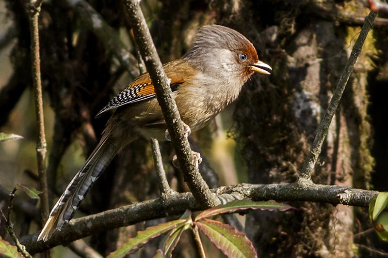 rusty barwing in sikkim wildlife sanctuary