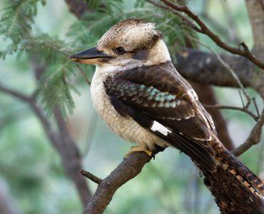 laughing kookaburra in Australia