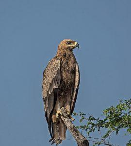 Tawny Eagle Tal Chappar Wildlife Sanctuary, Churu, Rajasthan