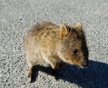 Quokka on road
