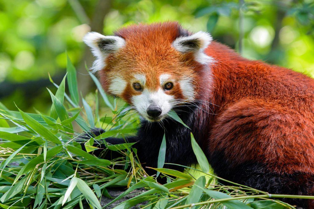 red panda in Sikkim wildlife sanctuary