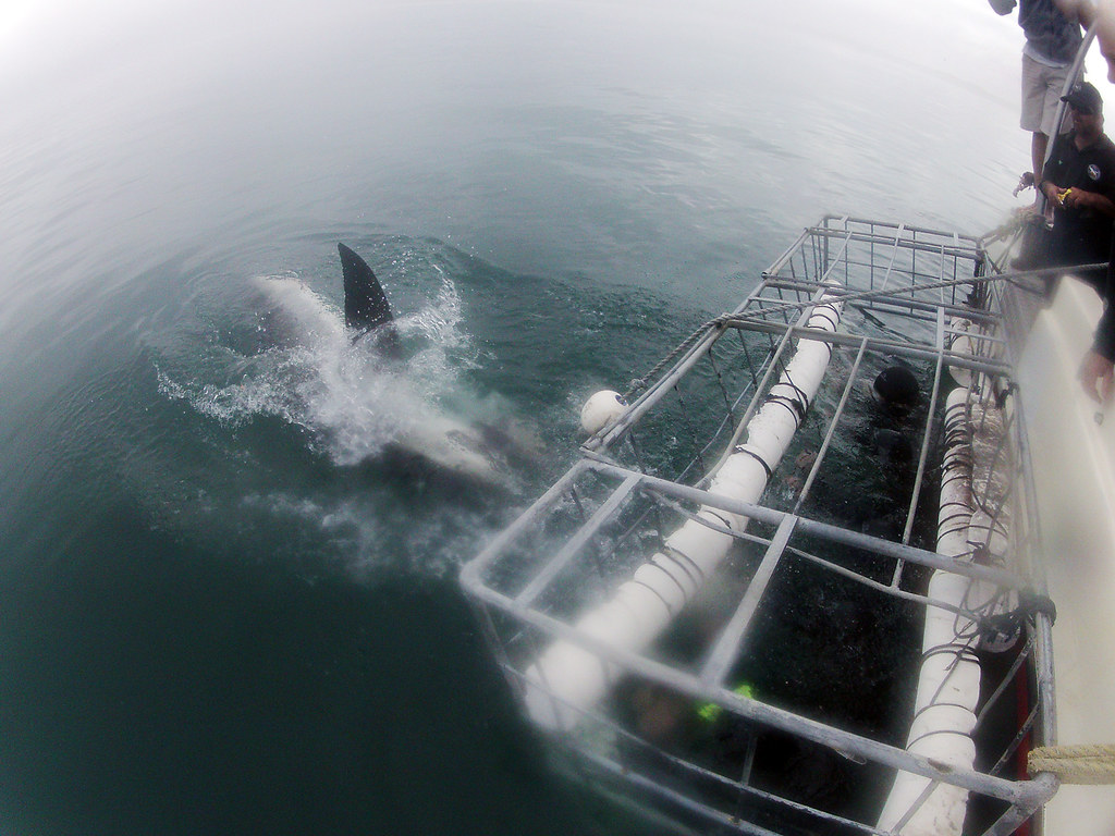 Shark cage diving experience in gaansbaai