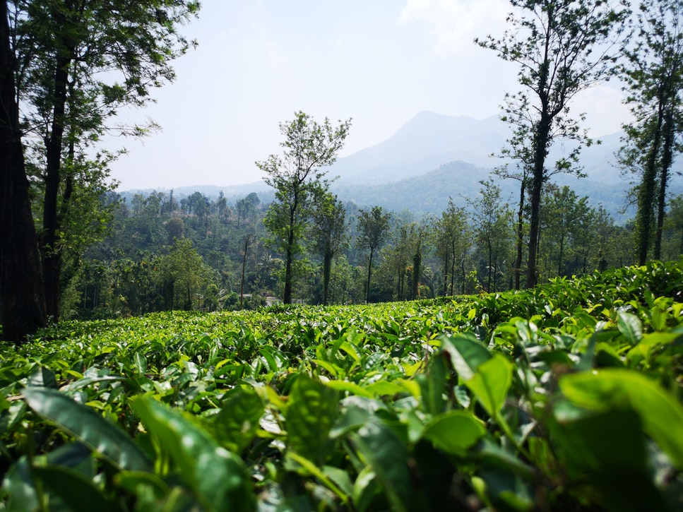 Wayand tea estate