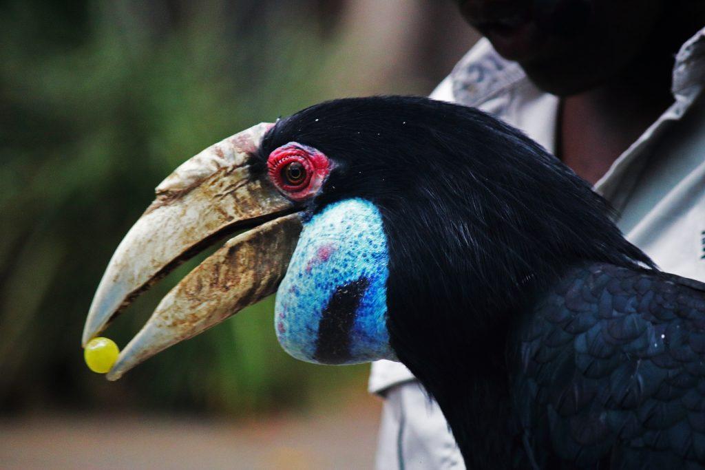 Colourful Hornbill