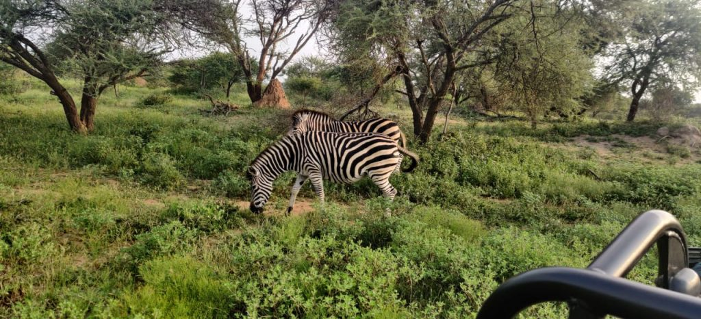 Zebra, captured by Mr and Mrs Pulkit