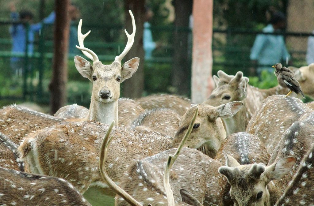 Chital in Jaipur Zoo