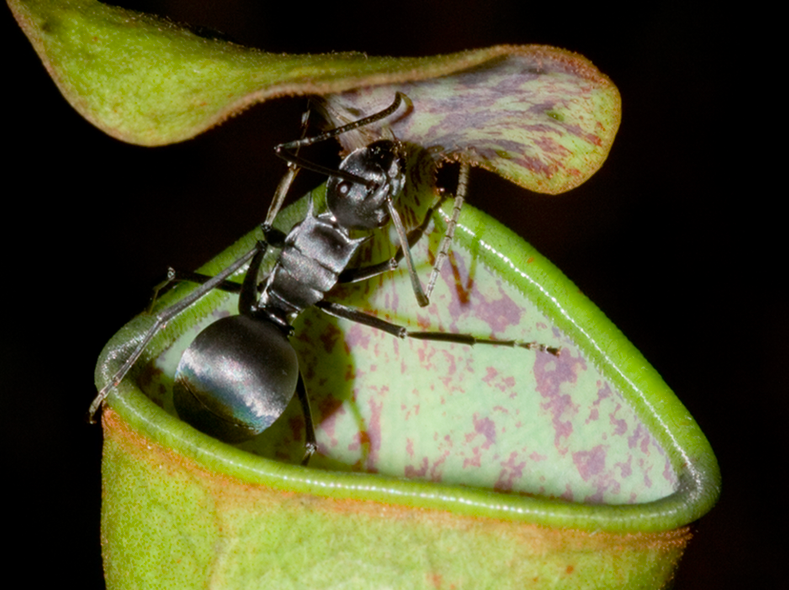 insect-eating pitcher plants