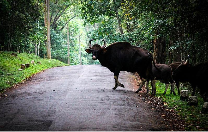 Heard of Bisons, murikaddy