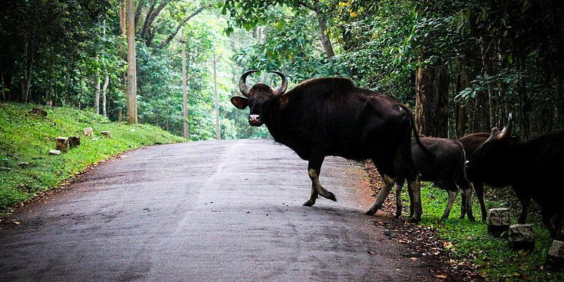 Herd of Bisons in Thekkady