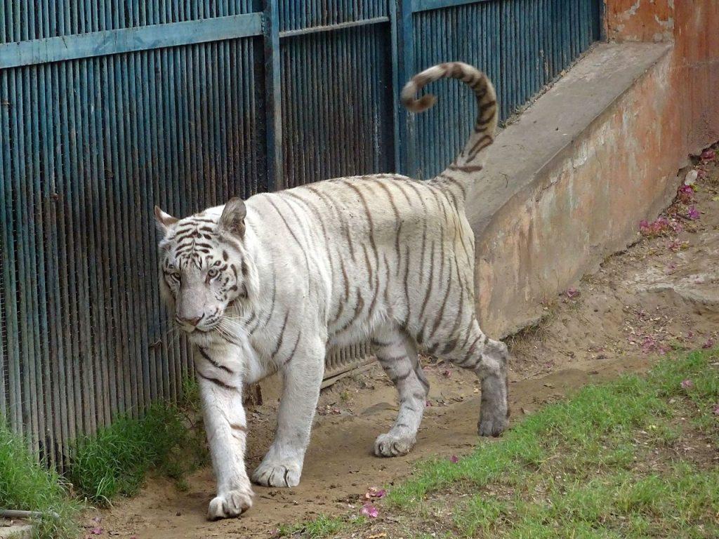 White Tiger in Jaipur Zoo