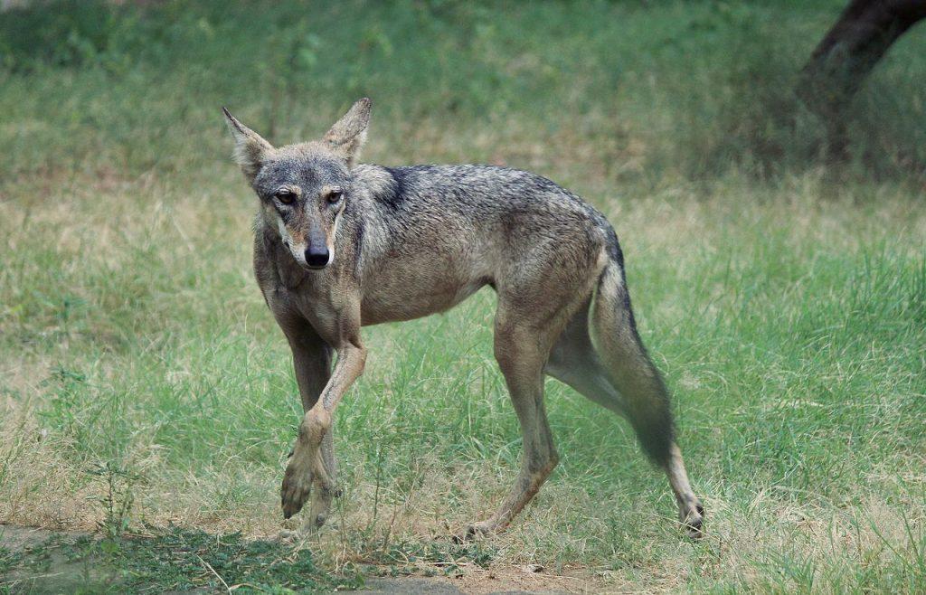 Wolf in Jaipur Zoo