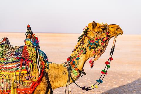 decorated camel in Jaisalmer