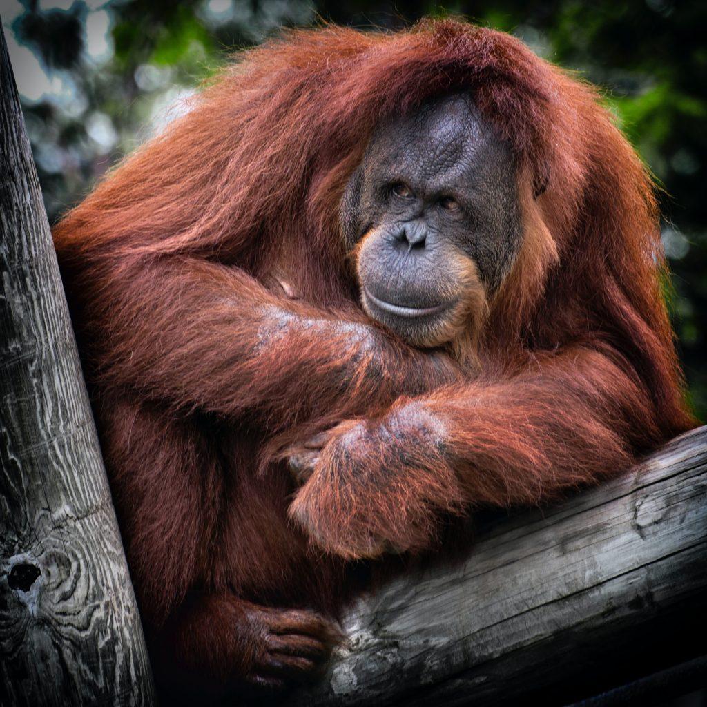 Orangutans at the Zoo Negara