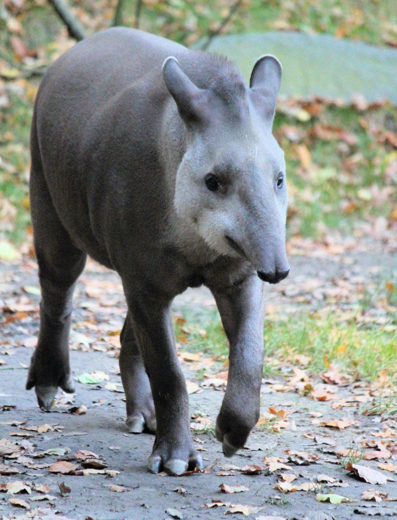 The four legged Malayan tapir