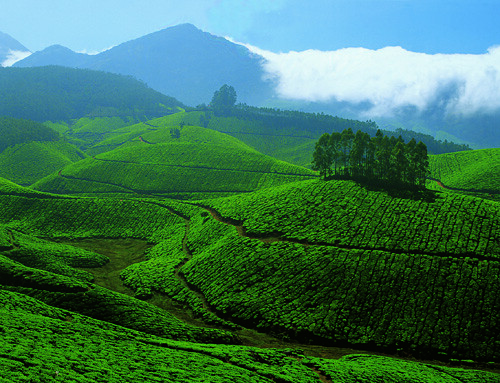 The view of Tea plantations on the way from Munnar to Thekkady