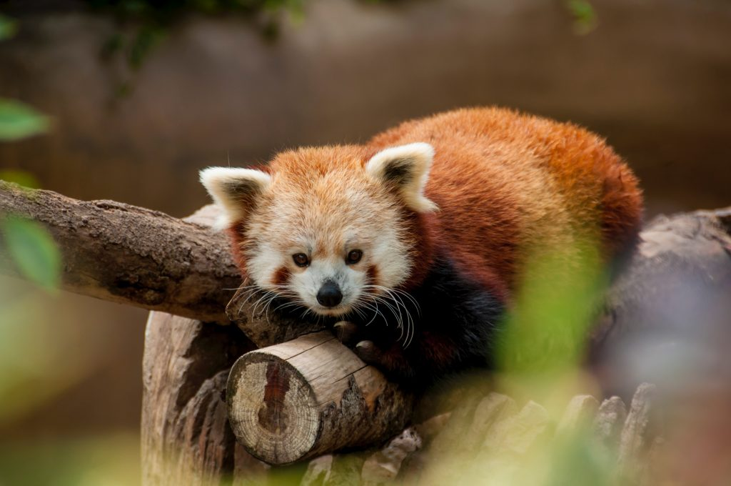 Red Panda at Namdapha National Park, Arunachal Pradesh