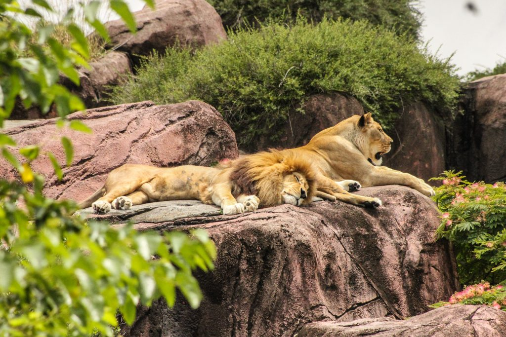 The lions having their day at the Zoo Negara