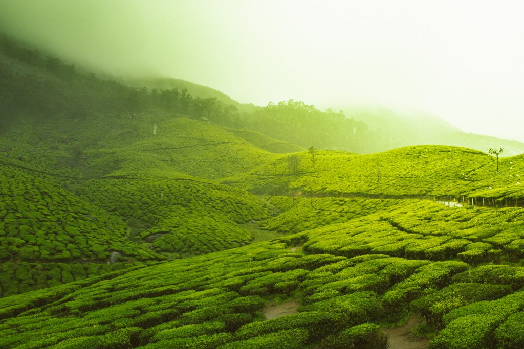 A picture of lush green fields in Kerala