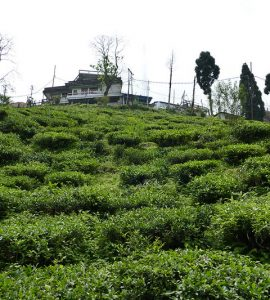 Tea Estates in Kurseong
