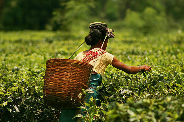 A lady at one of the tea gardens in Assam