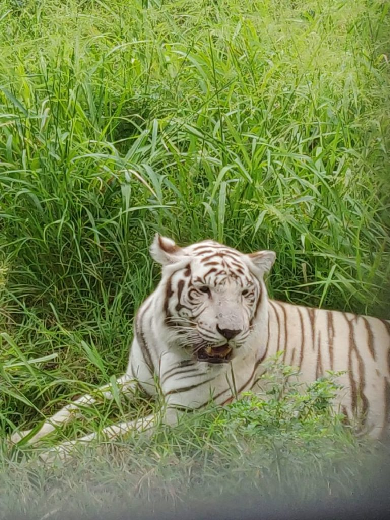 White tiger at Mauritius