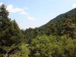 Pine forest in the trekking route