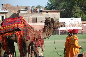 Camel In Rajasthan