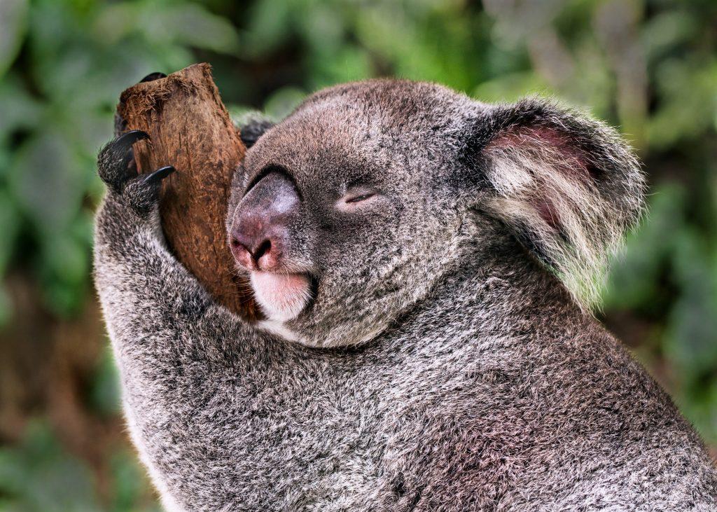 koala hugging a branch
