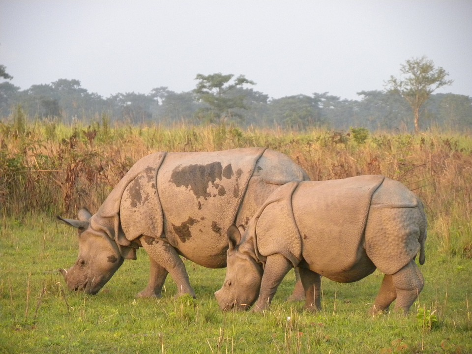Rhino in Manas Tiger Reserve
