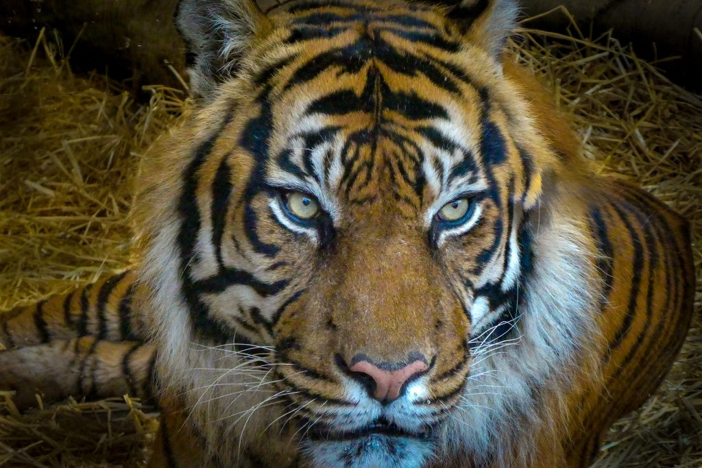 A tiger in Edinburg Zoo