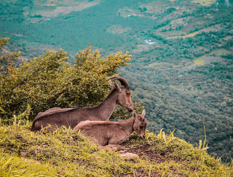nilgiri tahr in the forest