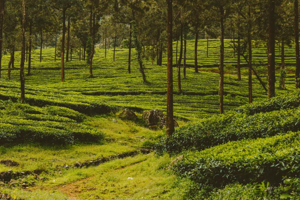 An amazing picture of plantations, that was taken in Kattappana